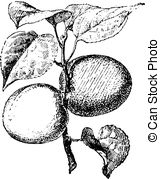 Clip Art of apricot (Prunus armeniaca).