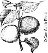 Clip Art of apricot (Prunus armeniaca).
