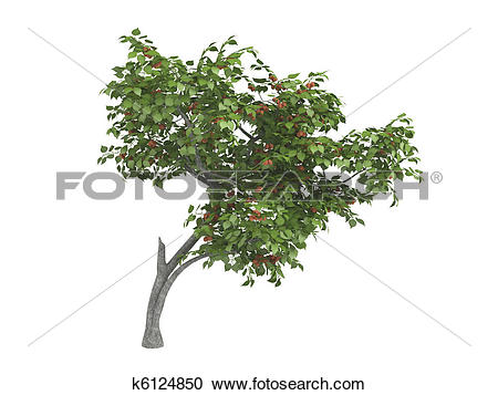 Stock Illustrations of Armenian plum or Prunus armeniaca k6124850.