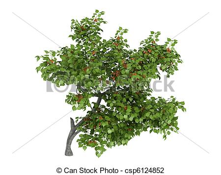Clip Art of Armenian plum or Prunus armeniaca.