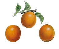 Flower Apricot Tree Prunus Armeniaca Stock Illustrations, Vectors.