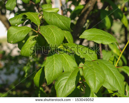 Prunus Domestica Stock Photos, Images, & Pictures.