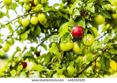 Prunus Domestica Stock Photos, Royalty.