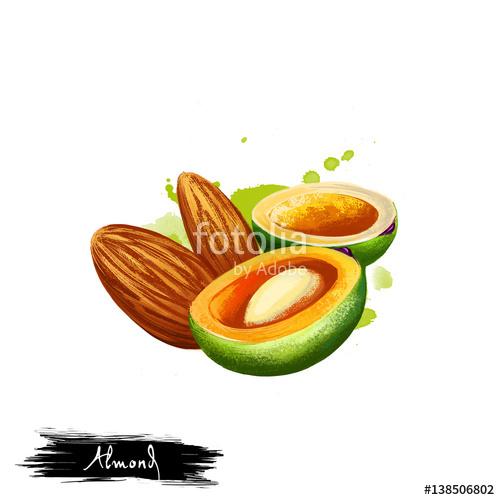 Hand drawn illustration of Almond nut or Prunus dulcis isolated on.
