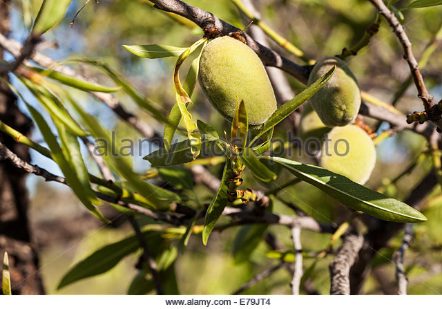 Prunus Dulcis Stock Photos & Prunus Dulcis Stock Images.