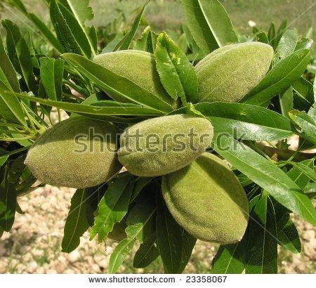 Prunus Dulcis Stock Photos, Royalty.