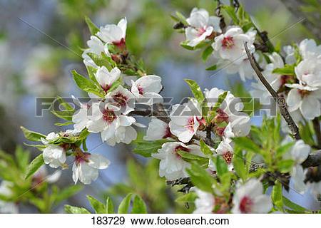 Stock Photograph of Almond (Prunus dulcis), flowering twigs.