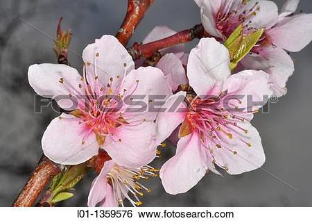 Stock Images of Flores de almendro Prunus dulcis. l01.