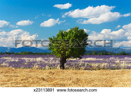 Stock Photography of Almond tree (prunus dulcis) in lavener fileld.