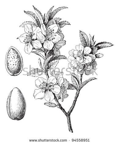 Prunus Amygdalus Stock Vectors & Vector Clip Art.