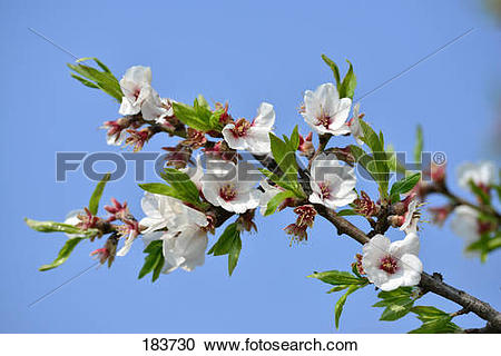 Stock Photography of Almond (Prunus dulcis), flowering twigs.
