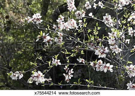 Stock Photo of Shkediah, an Almond tree, Prunus dulcis, blooming.