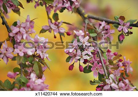 Stock Photo of Almond blossom (Prunus dulcis) x11420744.