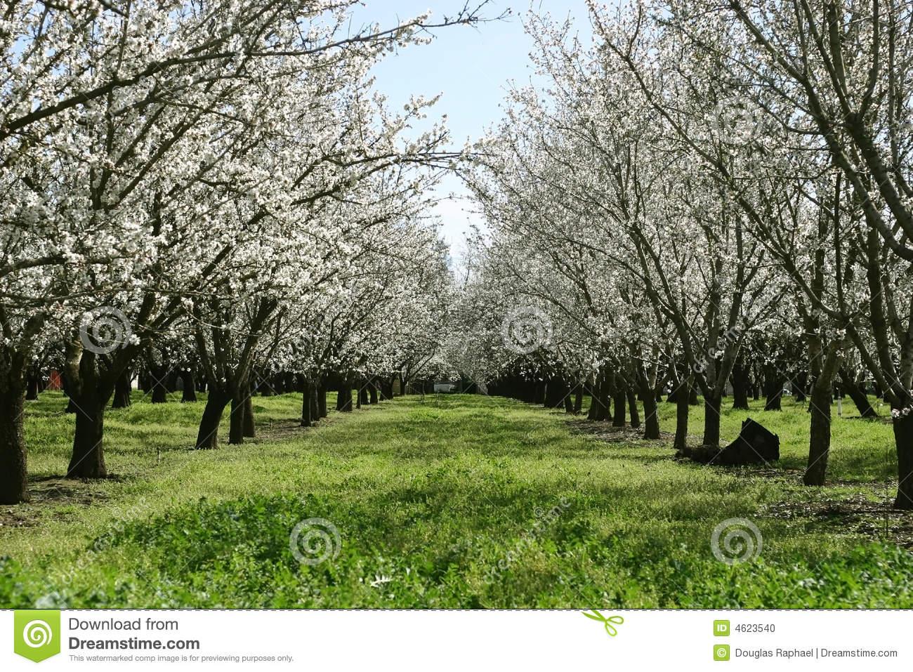 Prunus Dulcis, Flowering Nonpareil Almond Tree Bra Stock Photo.