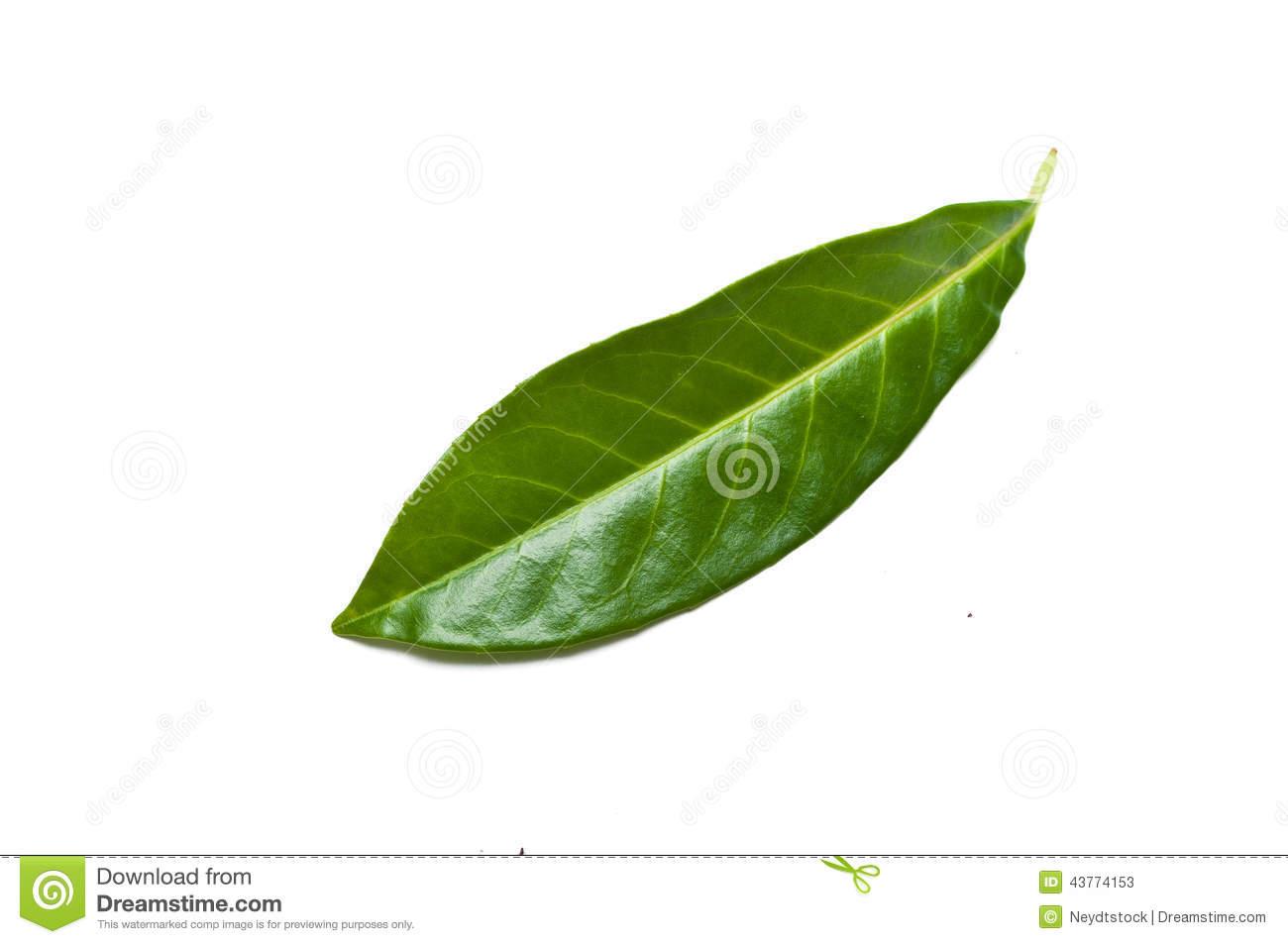 Isolated Leaf Of Prunus Laurocerasus Rotundifolia Stock Photo.