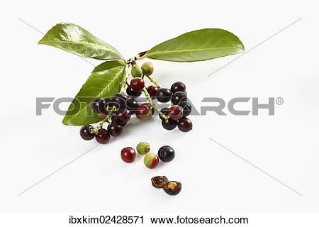 "Stock Photography of ""Cherry Laurel (Prunus laurocerasus), leaves."