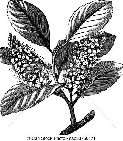 Vectors Illustration of cherry laurel (Prunus laurocerasus) or.