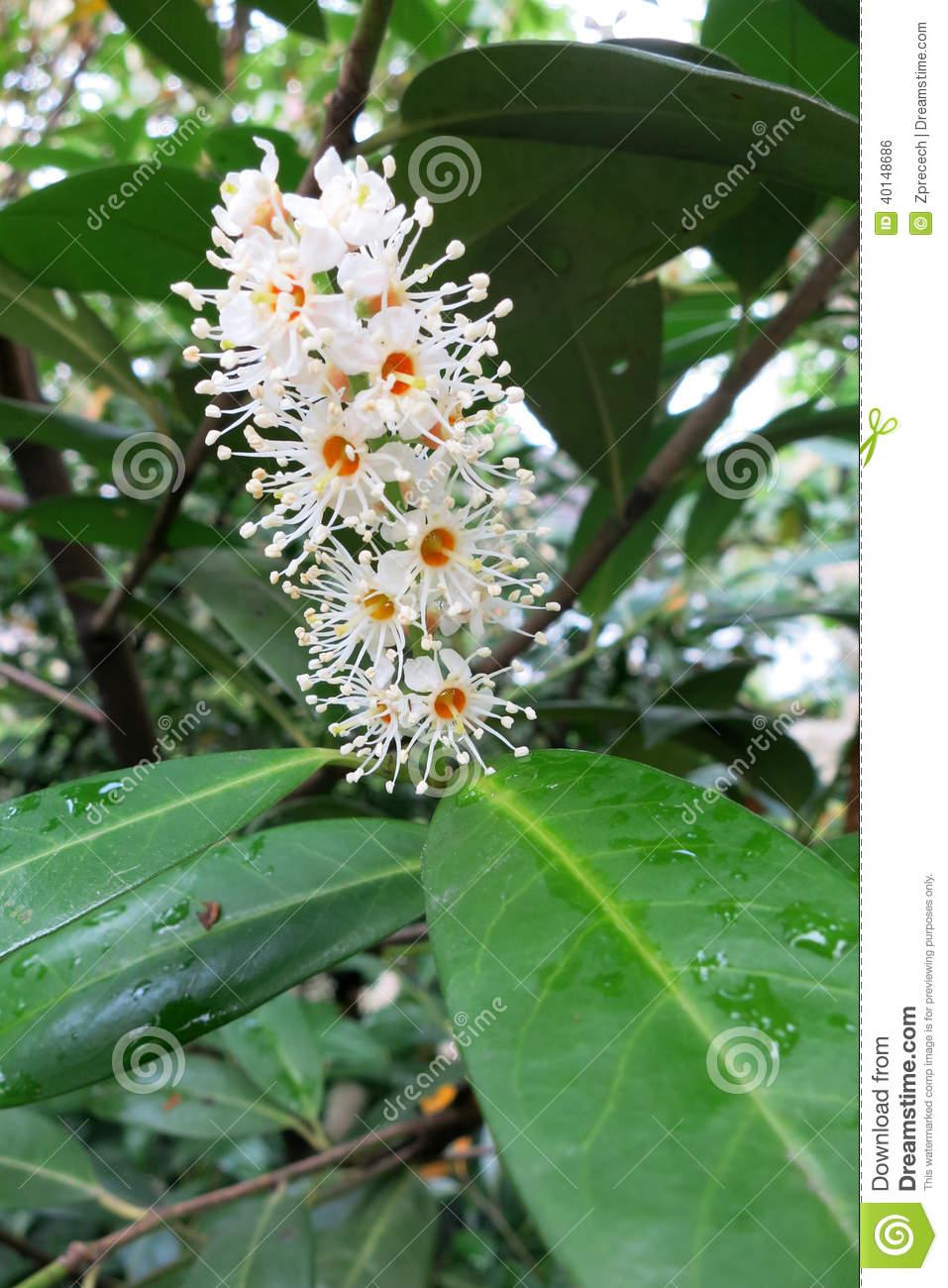 Cherry Laurel Or Common Laurel (Prunus Laurocerasus) Stock Photo.
