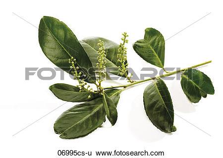 Stock Images of Cherry laurel (Prunus laurocerasus), close.