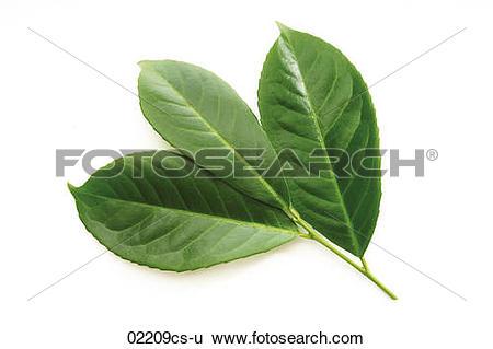 Stock Images of Laurel leaves, Prunus laurocerasus 02209cs.