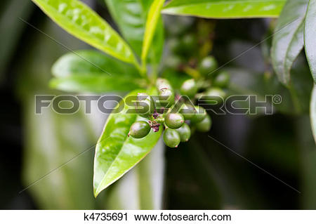 Stock Photography of Fruit of a Cherry Laurel (lat. Prunus.