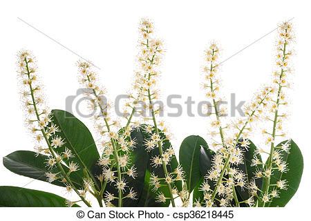 Stock Photo of Cherry laurel (Prunus laurocerasus ).