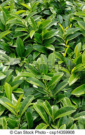 Stock Photography of Prunus laurocerasus, evergreen shrub in the.