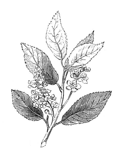 Bird Cherry Hackberry Branch 19th Century Illustration Clip Art.