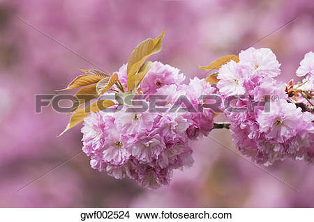 Stock Photo of Germany, Cologne, Cherry blossoms (Prunus Serrulata.