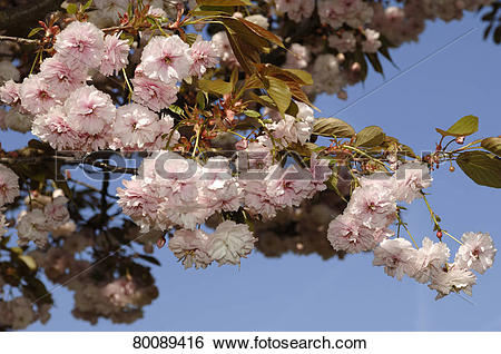 Stock Images of DEU, 2007: Japanese Cherry, Oriental Cherry.