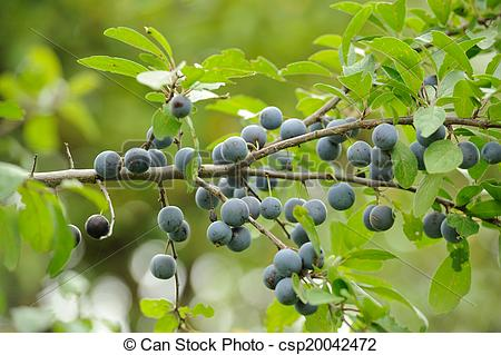 Picture of Blackthorn (Sloe or Prunus Spinosa) on Tree Branch.