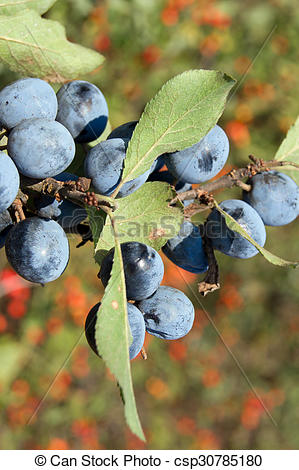 Pictures of blue sloes (Prunus spinosa).