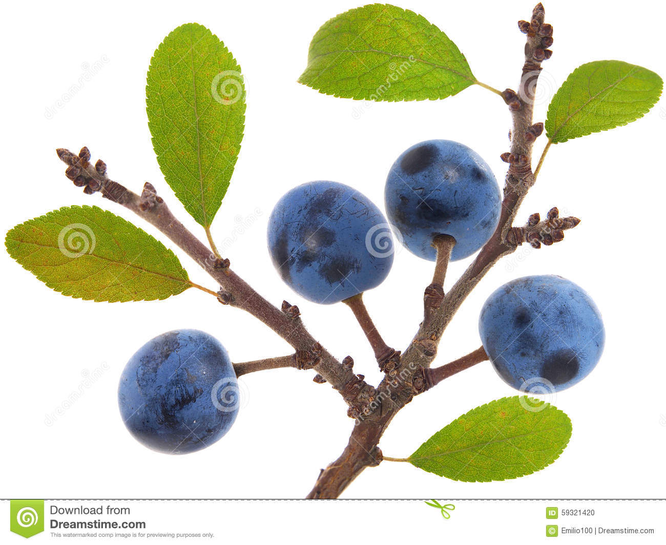 Twig Of Blackthorn Or Sloe Berries. Prunus Spinosa Stock Photo.