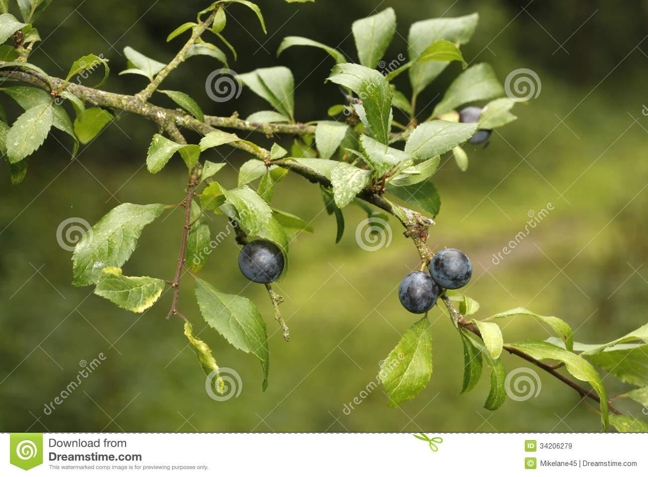 Buckthorn Or Sloe, Prunus Spinosa, Royalty Free Stock Images.