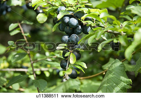 Stock Photography of England, North Yorkshire, . Sloe berries.