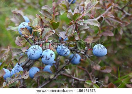Prunus Spinosa Stock Photos, Royalty.