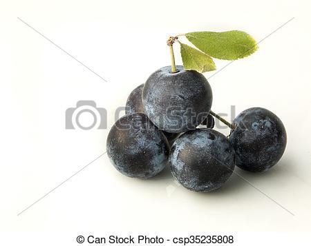 Stock Photography of Sloe,Prunus spinosa.