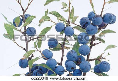 Stock Images of Sloe bush (Prunus spinosa) cd220046.