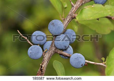 Picture of Blackthorn, Sloe (Prunus spinosa). Ripe berries on a.