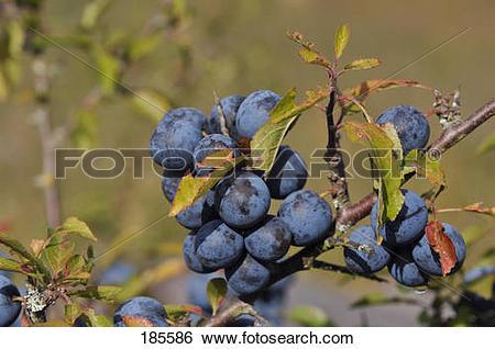 Stock Images of Blackthorn, Sloe (Prunus spinosa). Ripe berries on.