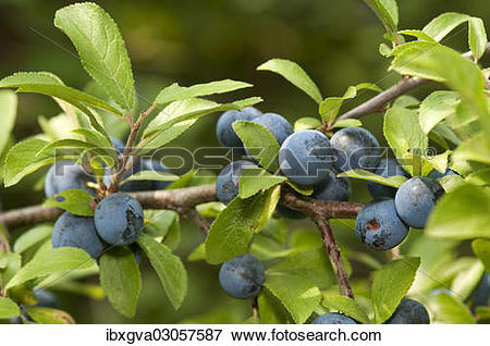 """Picture of """"Fruit of the Sloe or Blackthorn (Prunus spinosa."""
