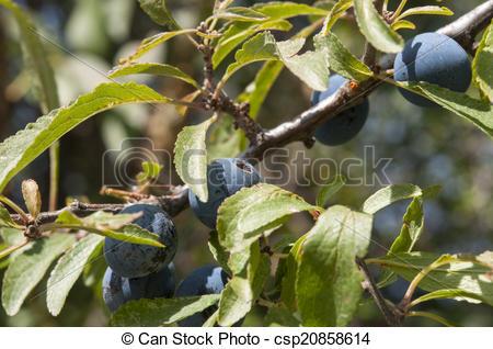 Clipart of Blackthorn, Prunus spinosa.