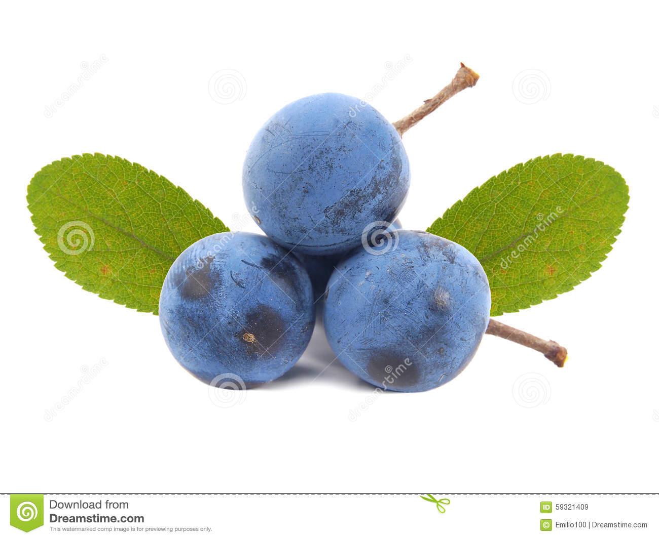 Blackthorn Or Sloe Berries. Prunus Spinosa Stock Photo.