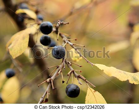 Stock Photo of branch of sloe, autumn background (Prunus spinosa.