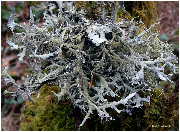Irish lichens.