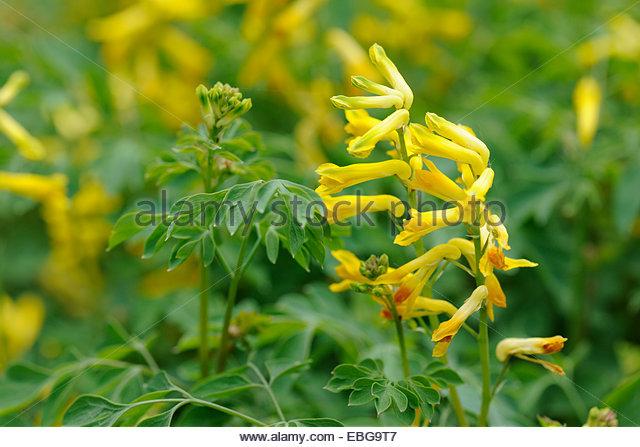 Corydalis Lutea Stock Photos & Corydalis Lutea Stock Images.