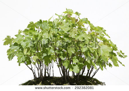 Acer Pseudoplatanus Stock Photos, Royalty.