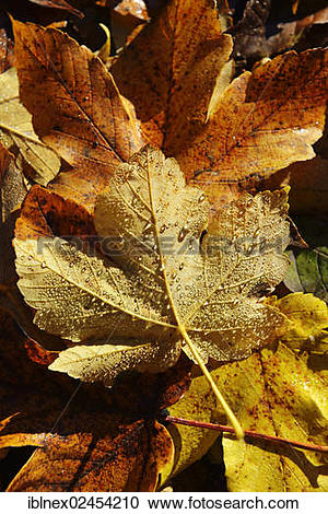 "Stock Photography of ""Autumn leaves from a Sycamore maple tree."