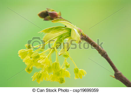 Stock Images of Acer pseudoplatanus csp19699359.