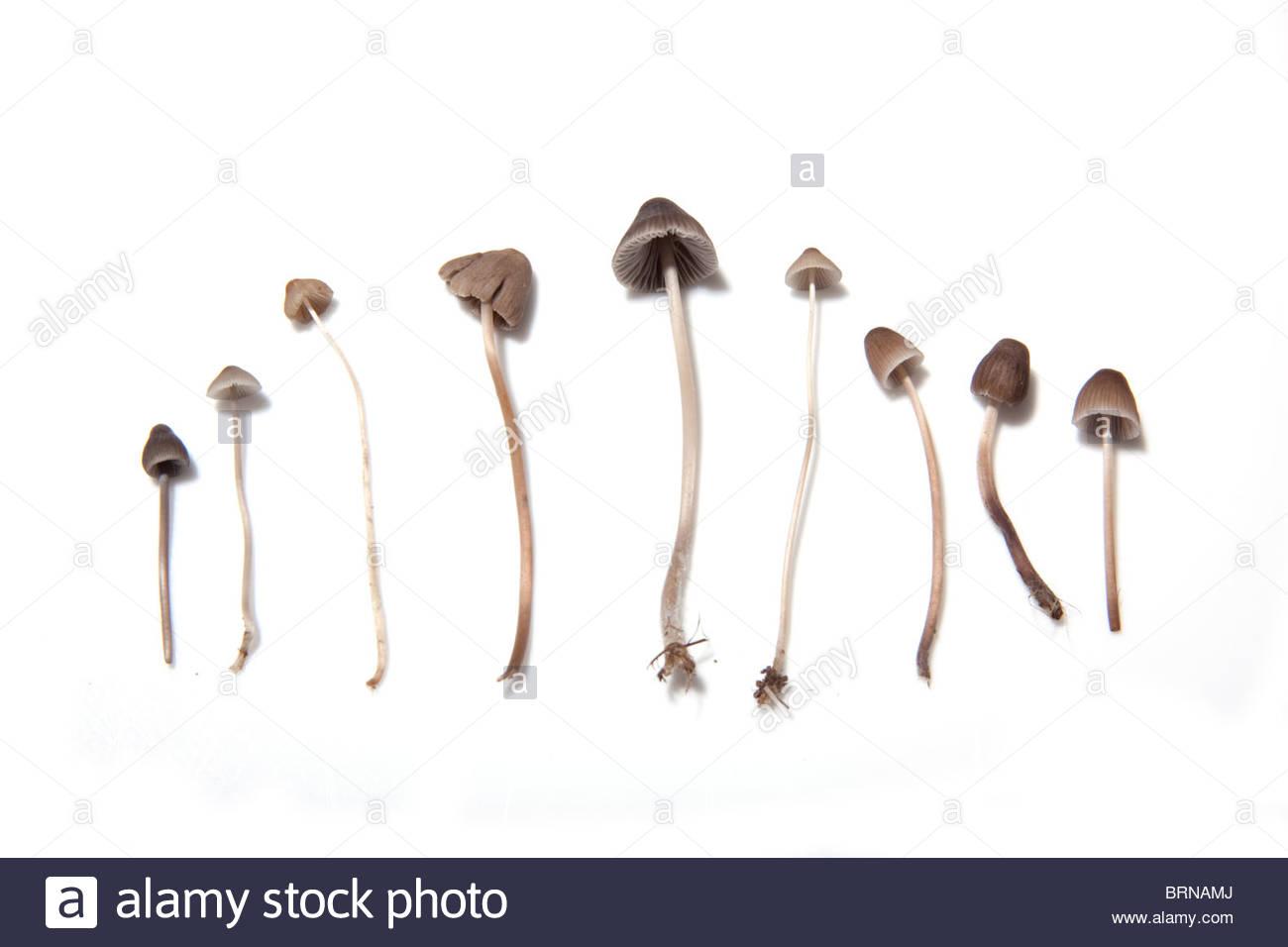 Magic Mushroom Liberty Cap Stock Photos & Magic Mushroom Liberty.